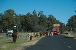 The publican's cattle