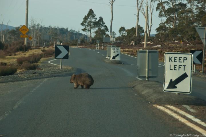 Cradle Mtn Wombat