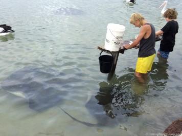 Feeding stingrays, Augusta, WA