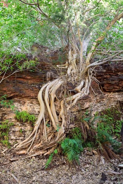 Rock Fig, Karijini