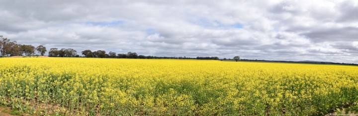 panorama-canola-fields