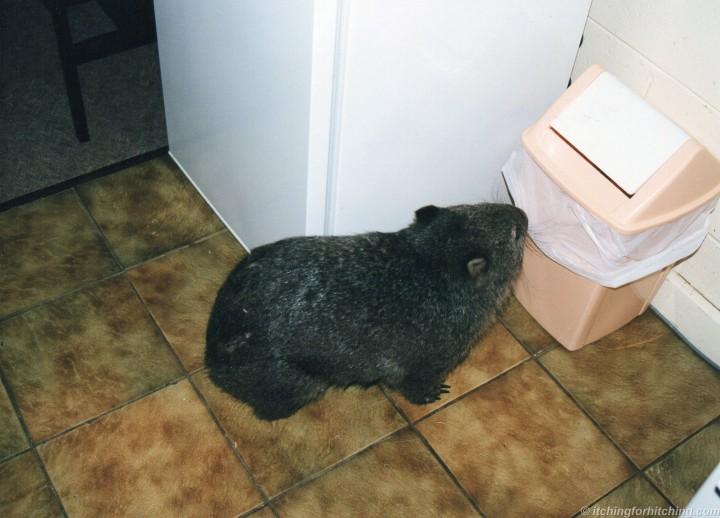 cheeky-wombat