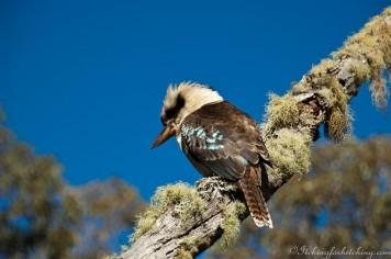 Kookaburra at Ebor