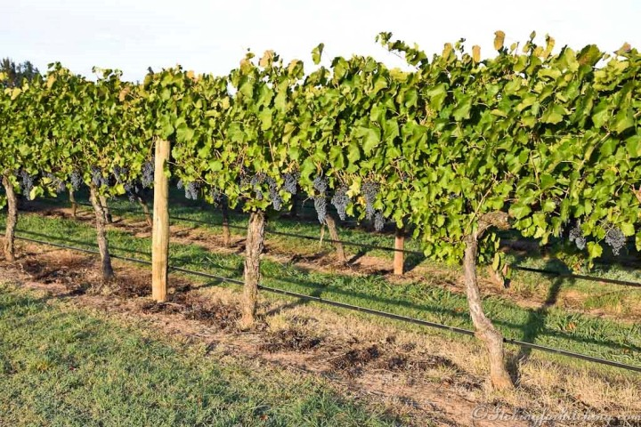 Brown Brothers Vineyard, Milawa