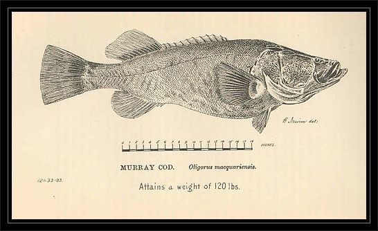 FMIB_36611_Murray_cod_Oligorus_macquariensis
