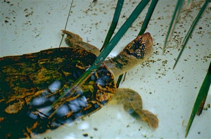 1200px-Fitzroy_River_Turtle_(Rheodytes_leukops)_(10112920833)