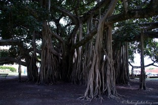 Banyan tree, Maryborough