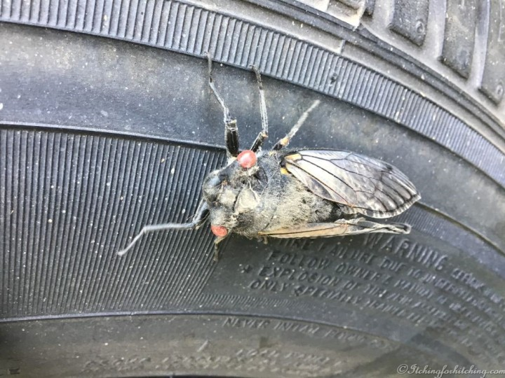 Red Eye Cicada