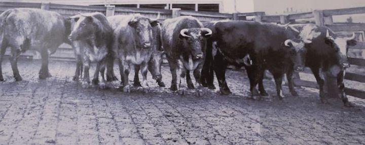 Cr Beatty's Bullocks